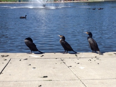 Three cormorants drying their wings at Heather Farm Park, Walnut Creek, CA