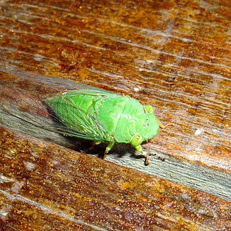 A Cicada: I'd never seen one before