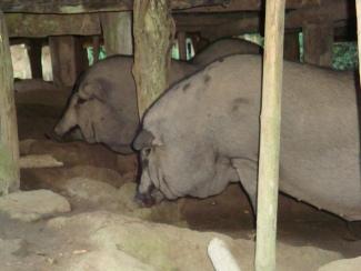 giant pigs