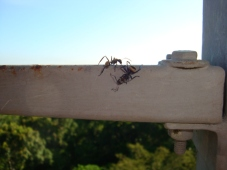 giant tropical ants