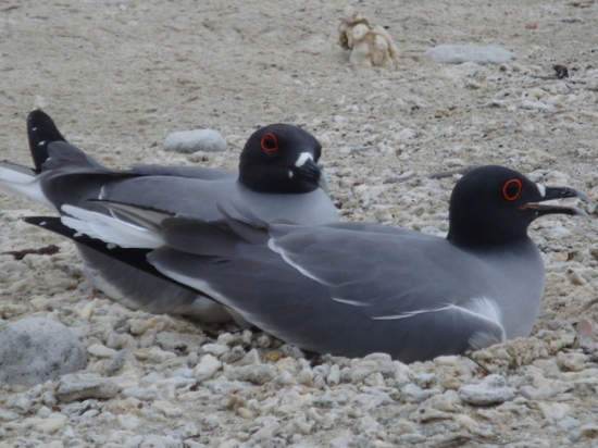 lava gull pair