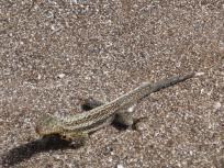 female lava lizard