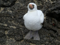 upclose with a Nazca boobie