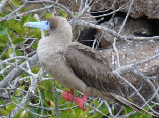 adult red footed boobie