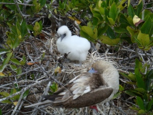 Red footed boobie and her chic