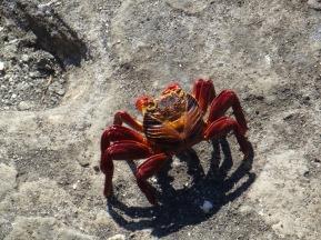 colorful Galapagos crabs