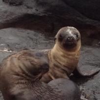 galapagos fur seal pup