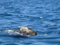 playful green sea turtle