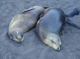 adult fur seals