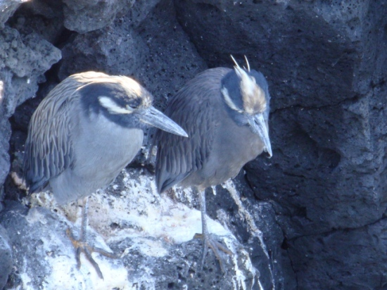Yellow Crowned Night Herons