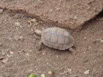 juvenile tortoise