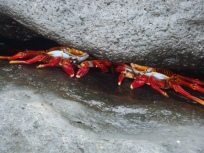 crabs under the rocks
