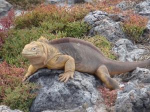 Galapagos Land Igauna