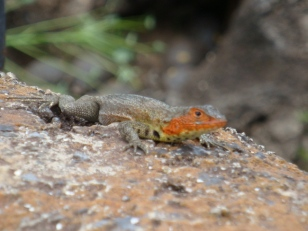 colorful lava lizard