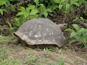 Galapagos toirtoise
