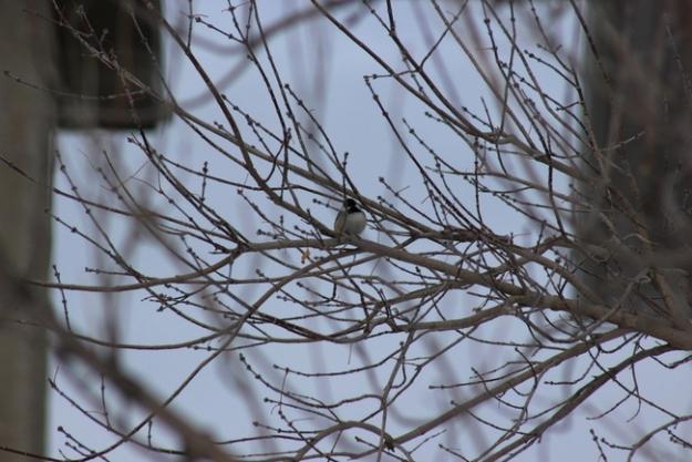 Chickadee in a tree: Southwestern Calgary