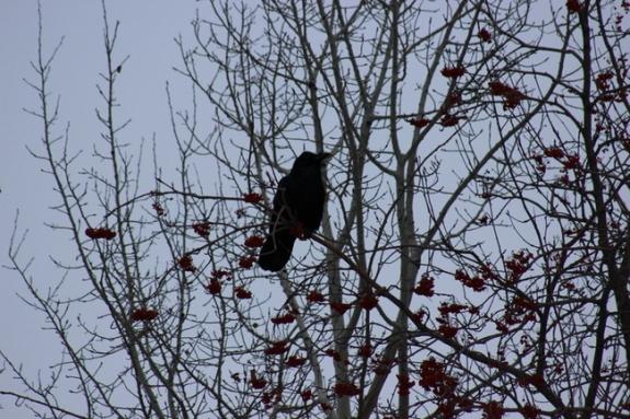 crow 5