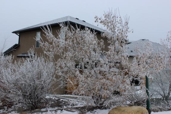 Frosty trees in Southwest Calgary