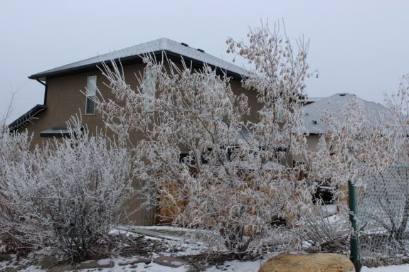 Frosty trees in Southwest Calgary