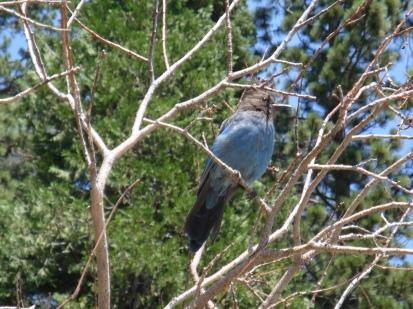 tahoe bird