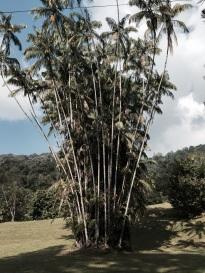 Local palms