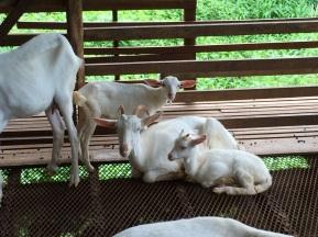 Docile goats
