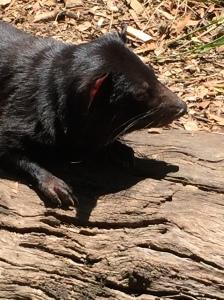 The real Tasmanian Devil