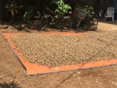 peanuts drying in the sun