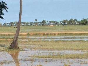 The fields around Siem Reap
