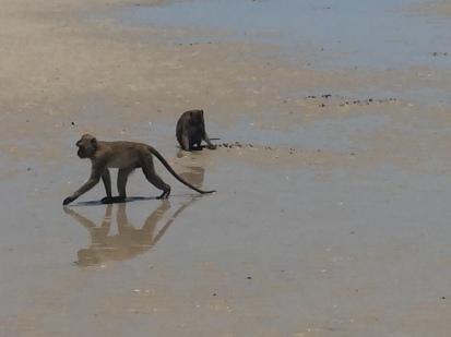 monkeys on the beach at Hua Hin